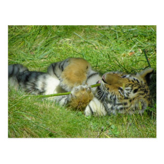 Tiger Cub Playing With a Stick Postcard