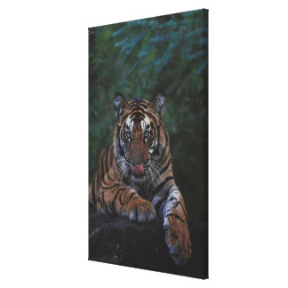 Tiger Cub Reclines on Rock Canvas Print
