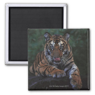 Tiger Cub Reclines on Rock Square Magnet