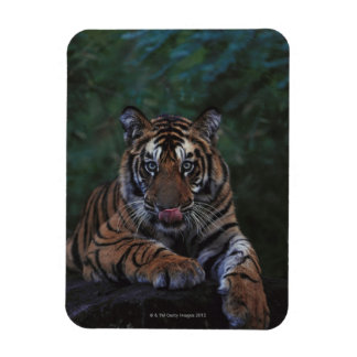 Tiger Cub Reclines on Rock Magnets