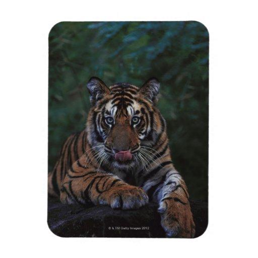 Tiger Cub Reclines on Rock Magnets