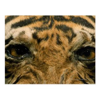 Tiger eyes post cards