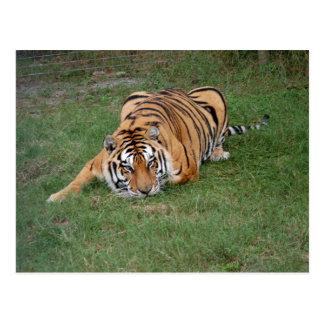 Tiger Friends-001 Postcard