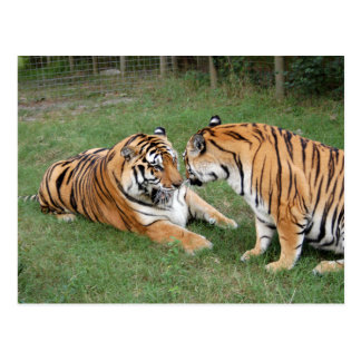 Tiger Friends-008 Post Cards