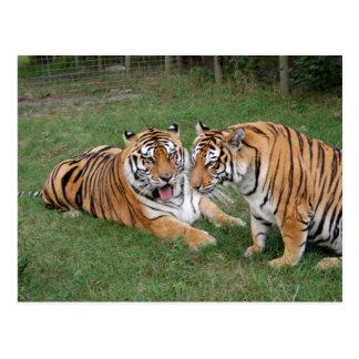 Tiger Friends-009 Postcard