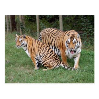 Tiger Friends-010 Postcard