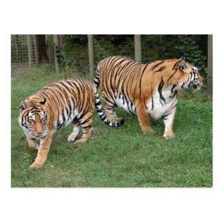 Tiger Friends-011 Post Card
