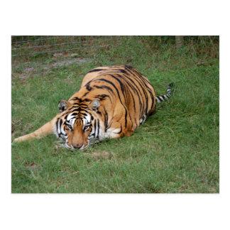 Tiger Friends-012 Postcard