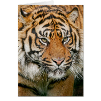 Tiger - Greeting Card