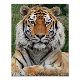 Tiger head  beautiful close-up photo print, poster