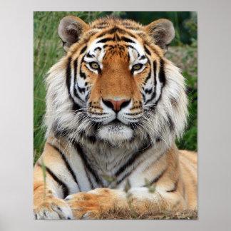 Tiger head  beautiful close-up photo print, poster
