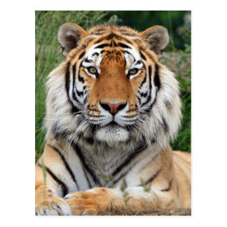 Tiger head male beautiful photo postcard