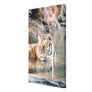 Tiger in stream canvas print