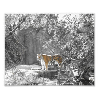Tiger in the Trees Photograph