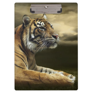 Tiger looking and sitting under dramatic sky clipboard