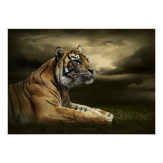 Tiger looking and sitting under dramatic sky poster