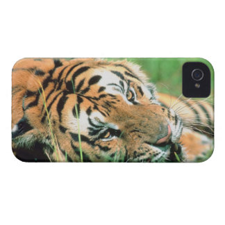 Tiger lying in grass iPhone 4 covers