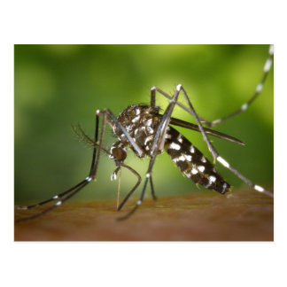 Tiger mosquito postcard