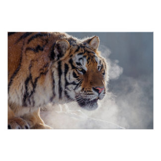 Tiger on a cold morning poster