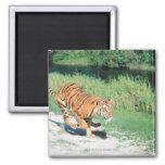 Tiger on path refrigerator magnet