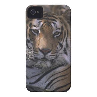 Tiger (Panthera tigris), close-up of head, Case-Mate iPhone 4 Cases