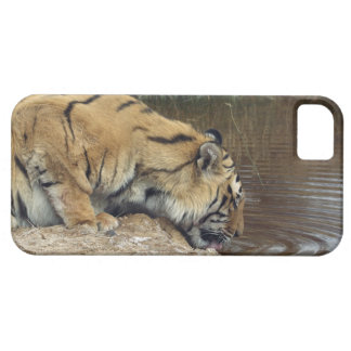 Tiger (Panthera tigris) lapping water up from a iPhone 5 Cases