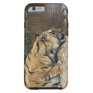 Tiger (Panthera tigris) lapping water up from a Tough iPhone 6 Case