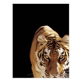 Tiger (Panthera tigris) Postcard