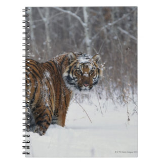 Tiger (Panthera tigris) standing in deep snow Notebook