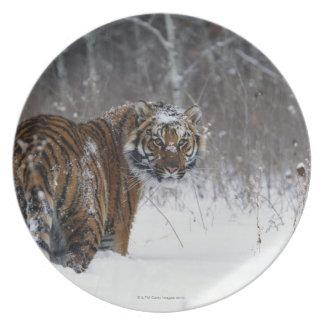 Tiger (Panthera tigris) standing in deep snow Plate
