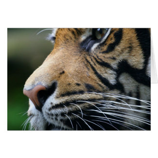 Tiger Picture Greeting Card
