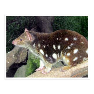 tiger quoll post card
