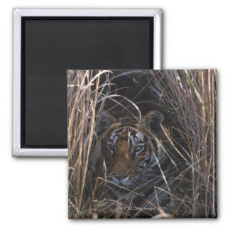 Tiger Reclines in Tall Grass Square Magnet