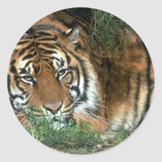 Tiger Resting Head On Foreleg Classic Round Sticker