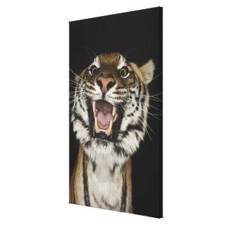 Tiger roaring 2 canvas print