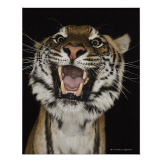 Tiger roaring 2 poster