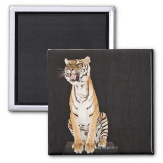 Tiger roaring magnet