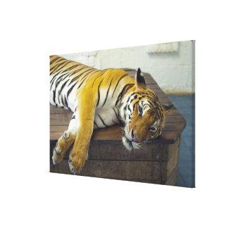 Tiger, Samui, Thailand Canvas Print