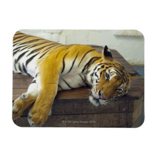 Tiger, Samui, Thailand Magnet