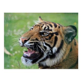 Tiger Showing Teeth Postcards