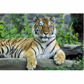 Tiger, Siberian Standing Photo Sculpture