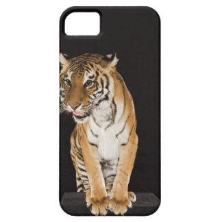 Tiger sitting on platform 2 iPhone 5 cases