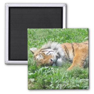 Tiger sleeping magnet