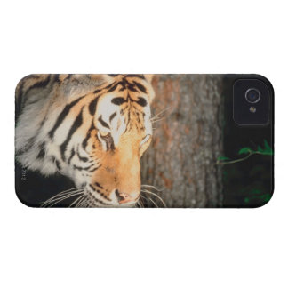 Tiger stalking iPhone 4 cover