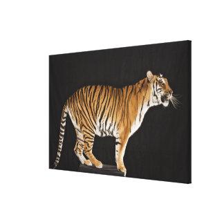 Tiger standing on platform canvas print