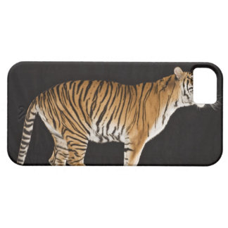 Tiger standing on platform iPhone 5 cover