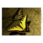 Tiger Swallowtail Butterflies Greeting Cards