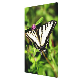 Tiger Swallowtail Butterfly. Papilio glacus. Canvas Print
