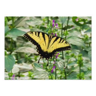 Tiger swallowtail butterfly photo print