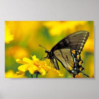 Tiger swallowtail on Lance-leaf coreopsis Print